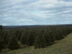 Oxbow Christmas Trees